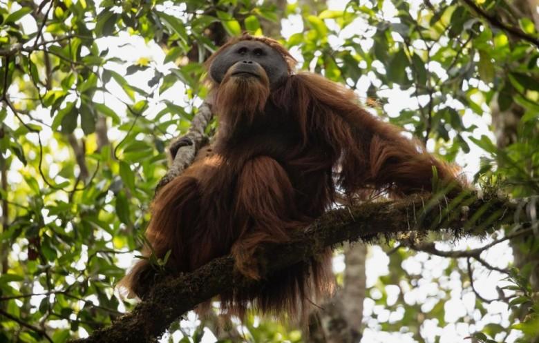 Mengenal Spesies Orangutan Baru dari Tapanuli Selatan