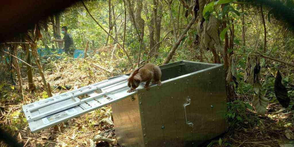 Peringati Hari Hutan Sedunia, 15 Kukang Korban Perdagangan Dibebaskan di Hutan Gunung Sawal Ciamis