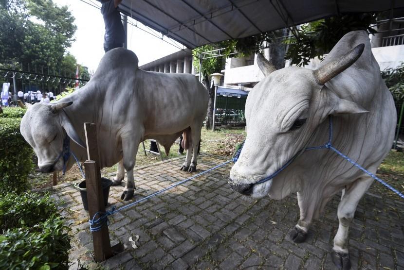 Jokowi Kirim Dua Ekor Sapi Kurban Berukuran Besar ke Kampung Halamannya