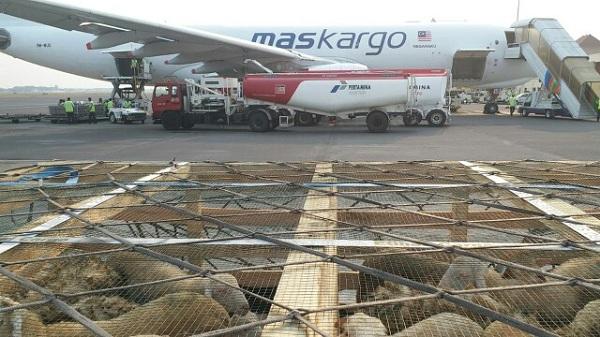 Pertama Kalinya Ekspor Domba ke Malaysia Melalui Udara